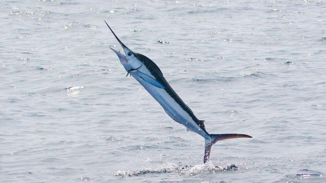 Макрелевый тунец - описание вида, в чем разница с обычным тунцом