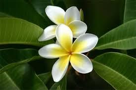Плюмерия (франжипани): как ухаживать, чтобы деревце радовало сочными листьями иароматным цветением