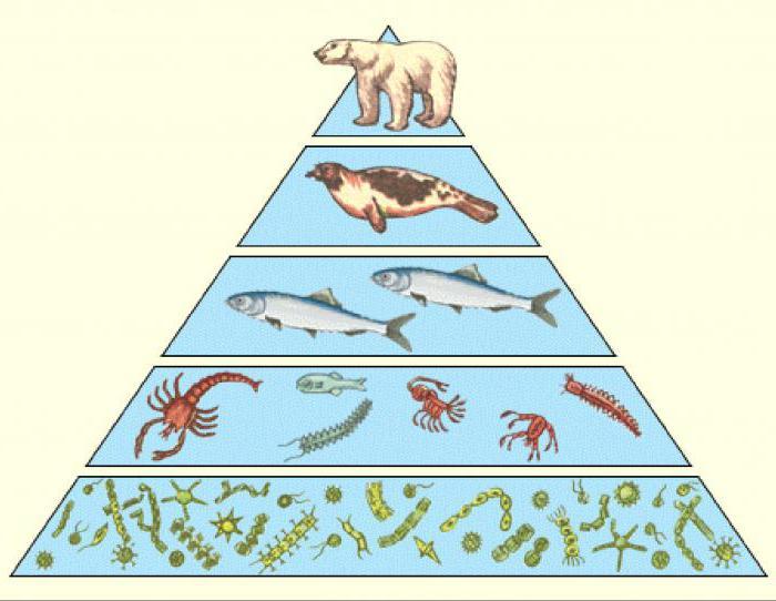 § 46. экологические пирамиды. правило линдемана