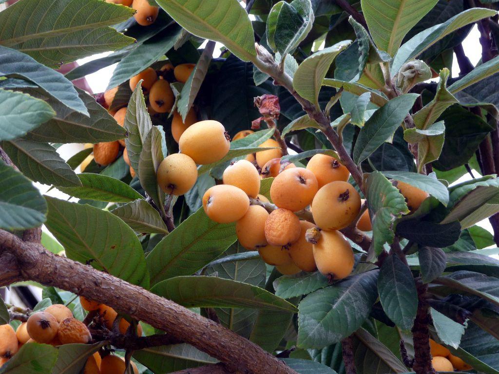 Мушмула — вечнозеленый источник витаминов