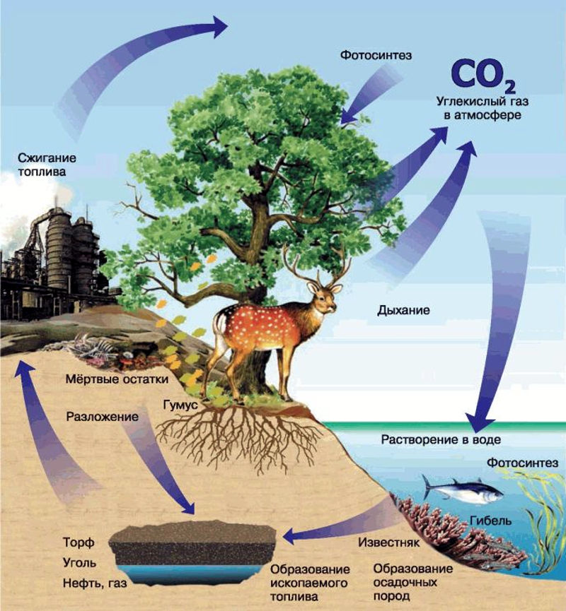 Биологический круговорот и превращение энергии в биосфере, роль в нем организмов разных царств. эволюция биосферы / справочник :: бингоскул
