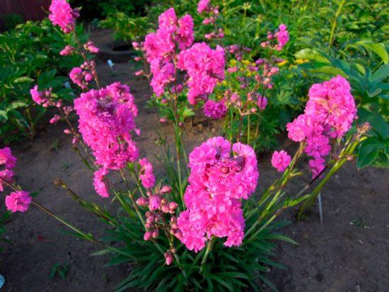 Натуральная жевательная резинка или смола сибирской лиственницы