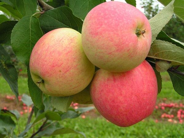 Подвой для яблони, разновидности и особенности выращивания, в том числе из семян