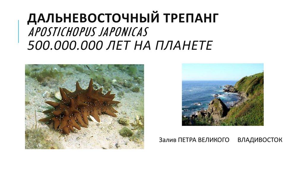 Морской огурец – что это такое и как выглядит, виды и полезные свойства, рецепты приготовления блюд с фото