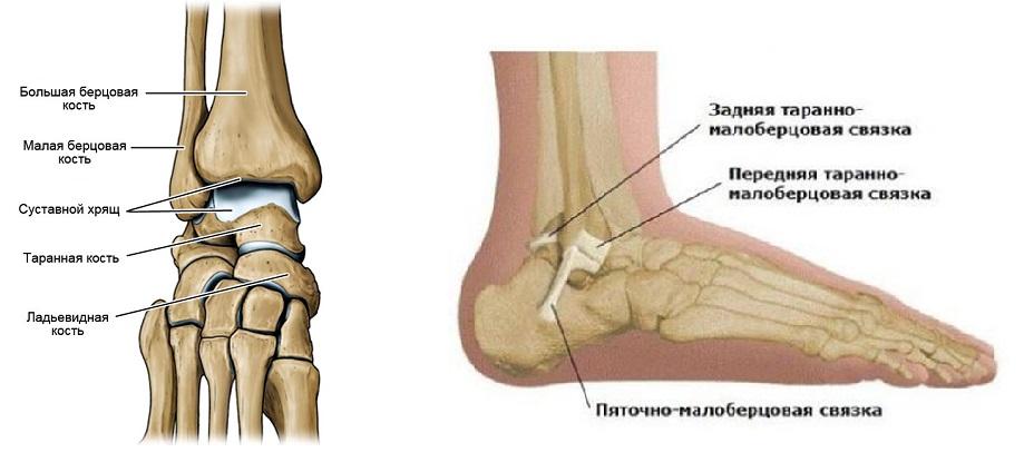 Что такое лодыжка ноги и где она находится