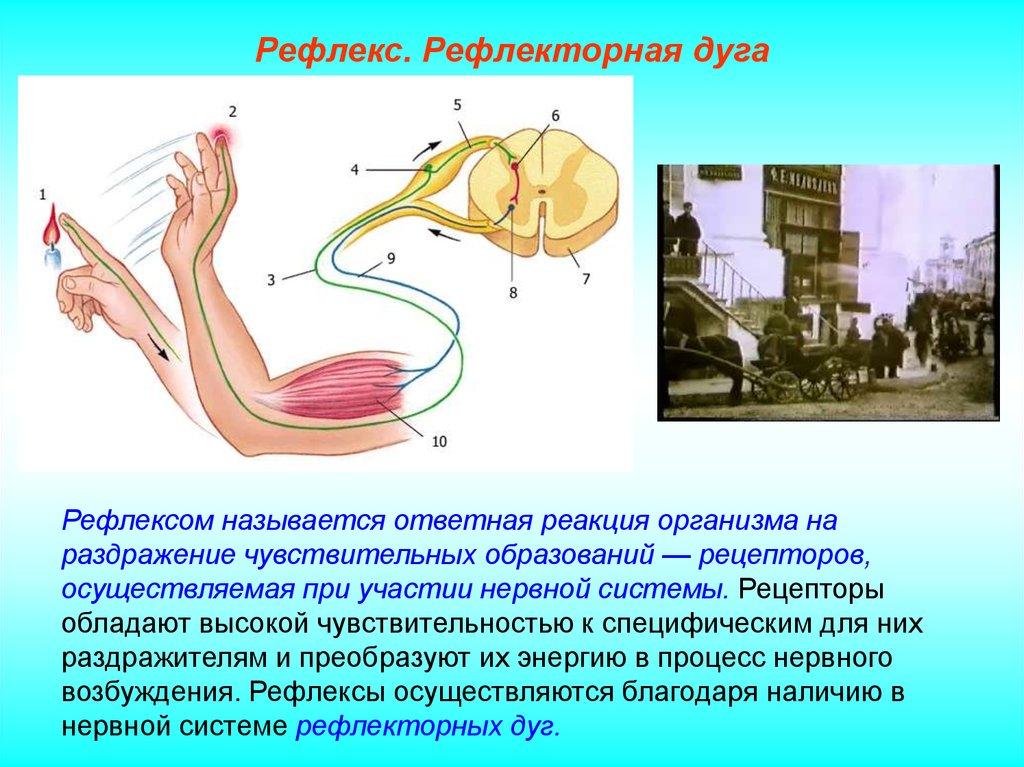 Что такое рефлекторная дуга :: syl.ru