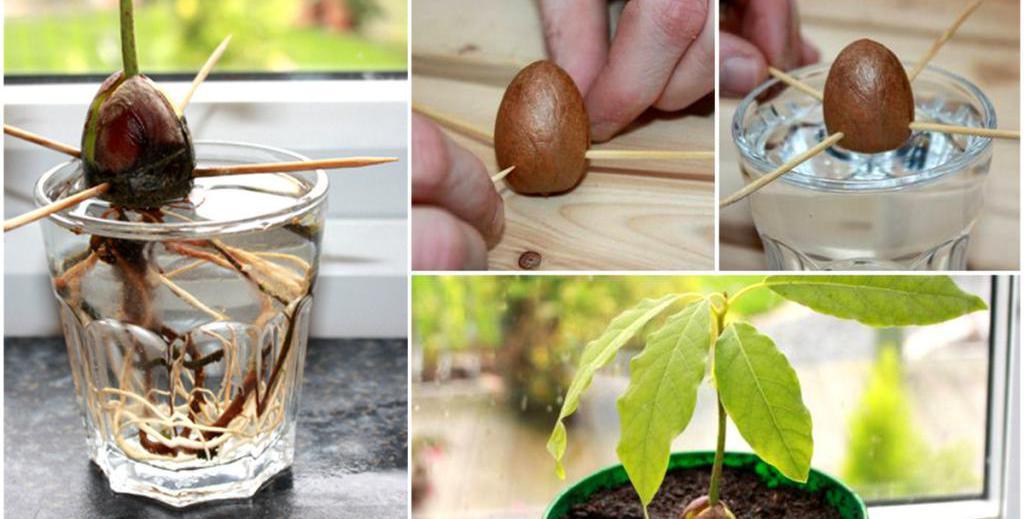 Авокадо (avocado). описание, виды и уход за авокадо