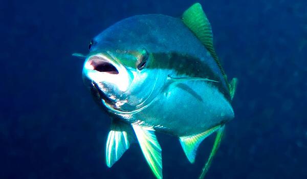 Тунец это, какая рыба. тунец: виды, свойства и способы приготовления | здоровье человека