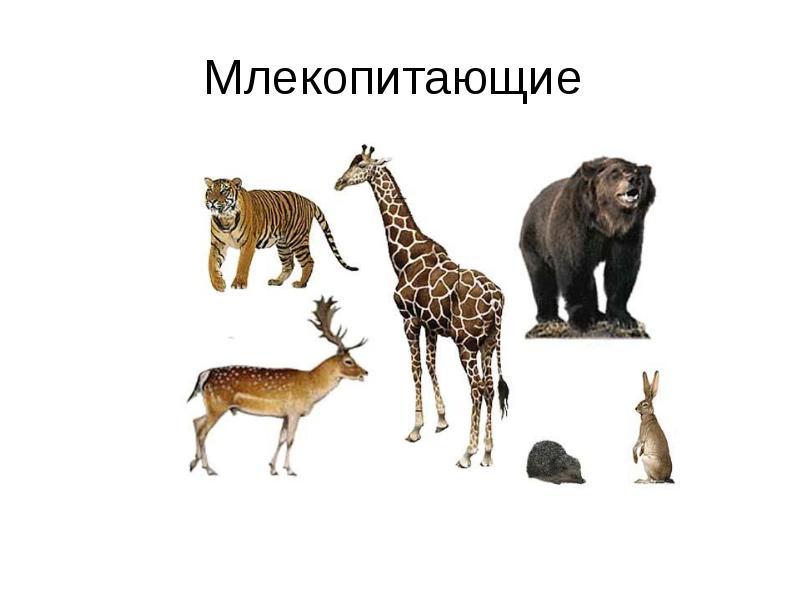 Млекопитающие — циклопедия