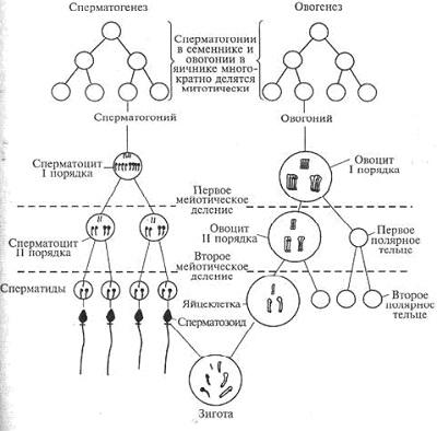 Онтогенез многоклеточных животных, размножающихся половым способом. сперматогенез. овогенез. периоды развития