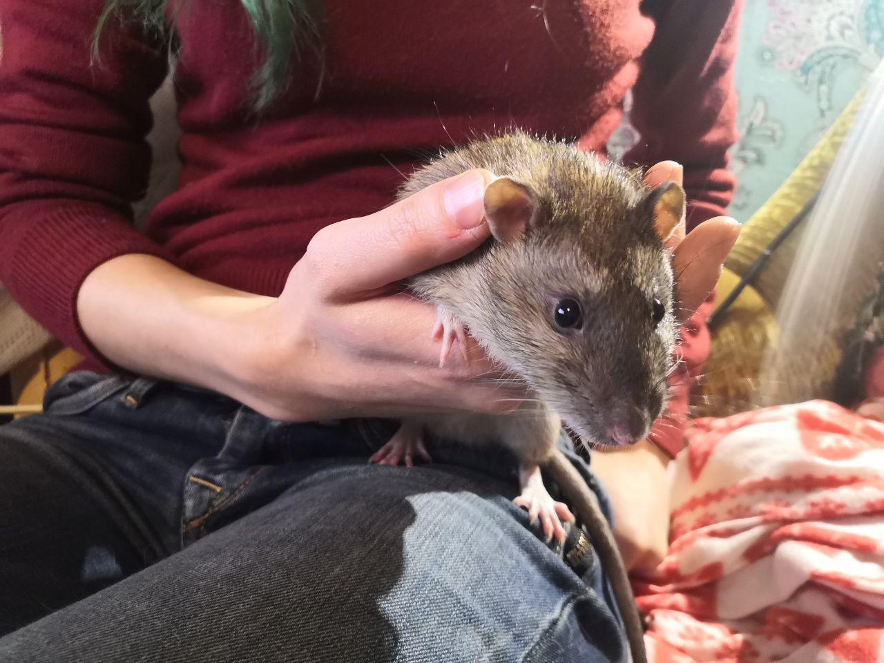 Крыса это животное — все животные