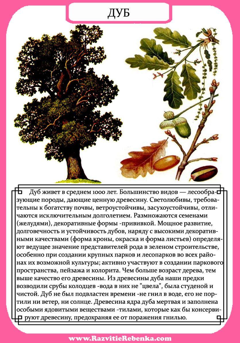 Дуб — википедия. что такое дуб