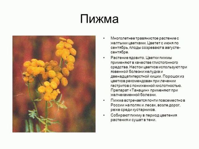 Пижма обыкновенная и ее лечебные свойства. применение, противопоказания и фото пижмы.
