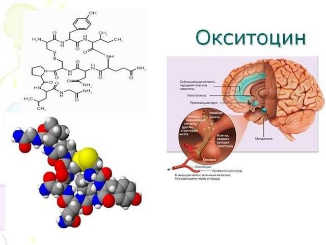 Окситоцин — википедия. что такое окситоцин