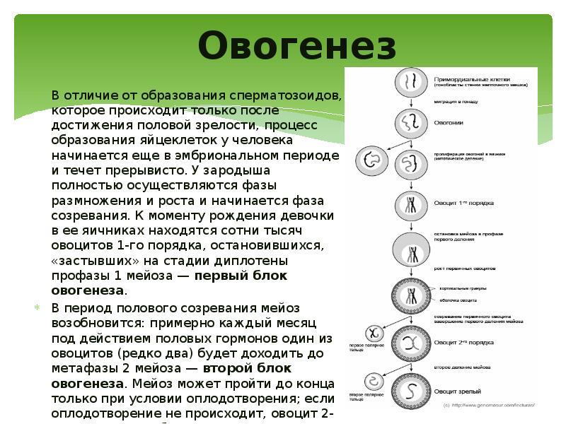 Овогенез и сперматогенез   общие черты и отличия, схема овогенеза и сперматогенеза