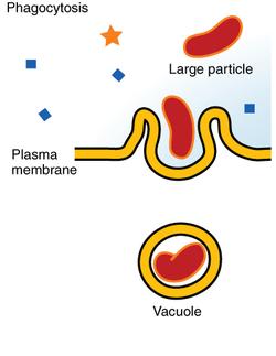 Фагоцитоз - что это такое? в чем суть фагоцитоза? стадии фагоцитоза