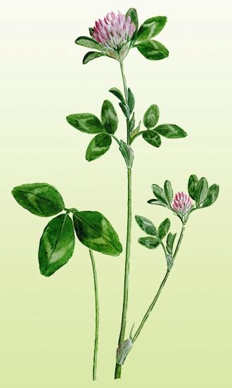 Клевер луговой: лечебные свойства и противопоказания, чем полезен, применение