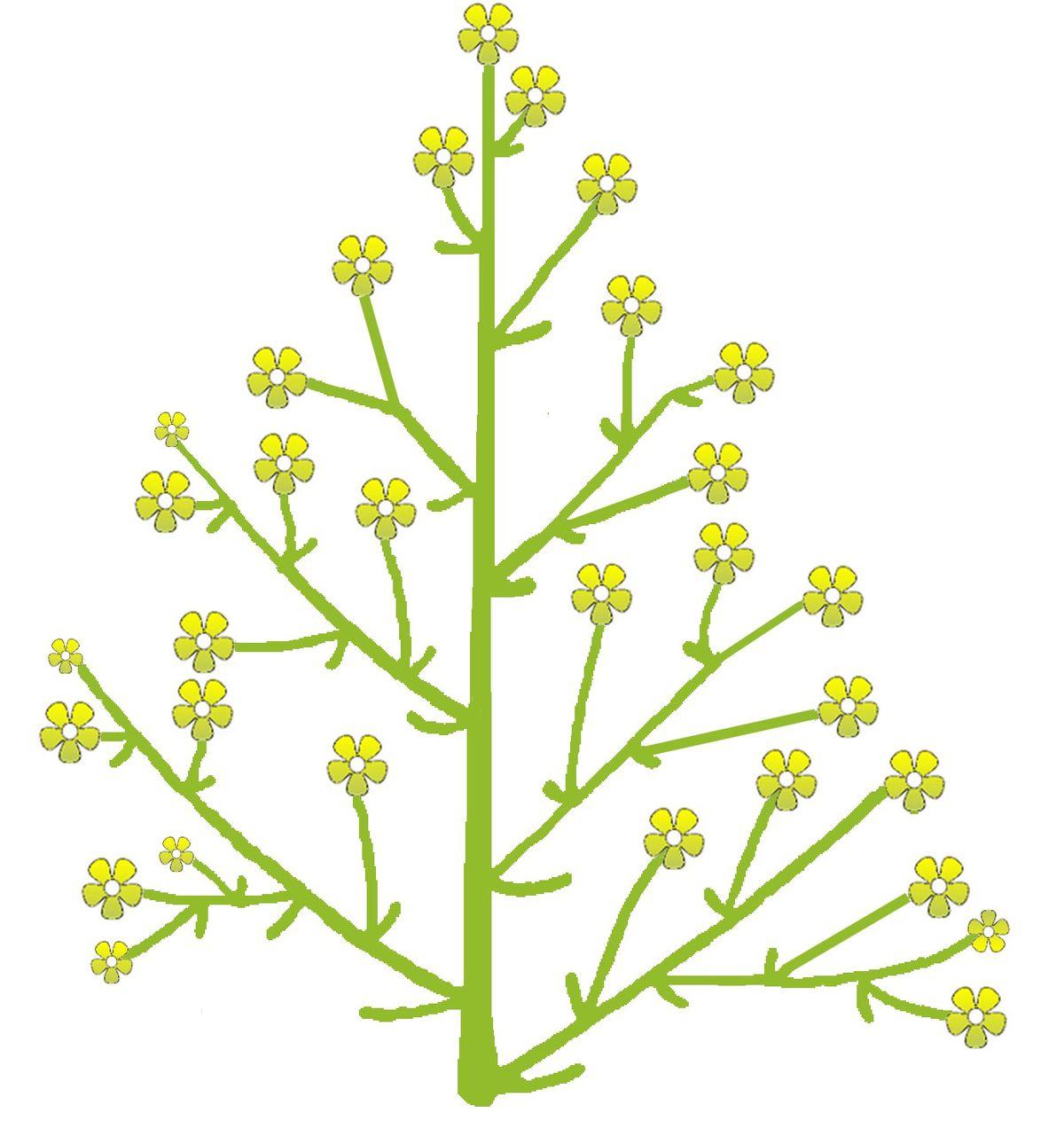 Основные типы соцветий