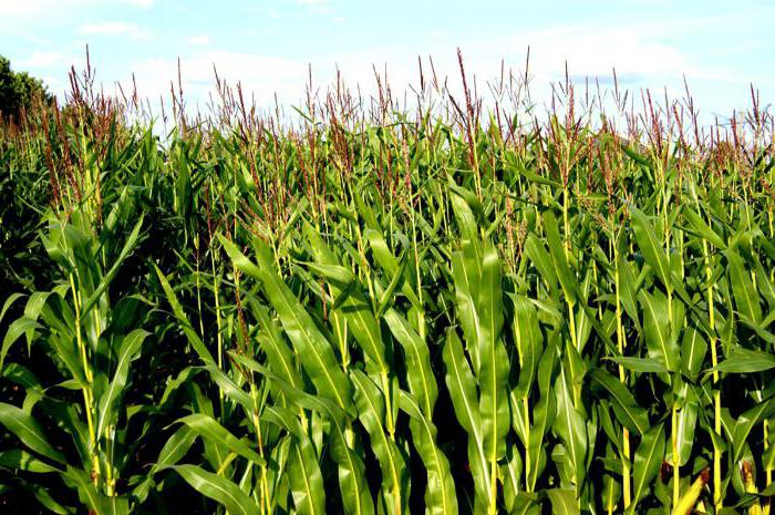 Маис кукуруза сахарная семена сорта выращивание