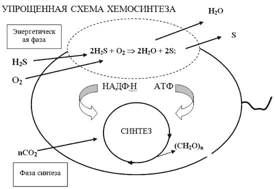 Особенности хемосинтеза бактерий - мир бактерий