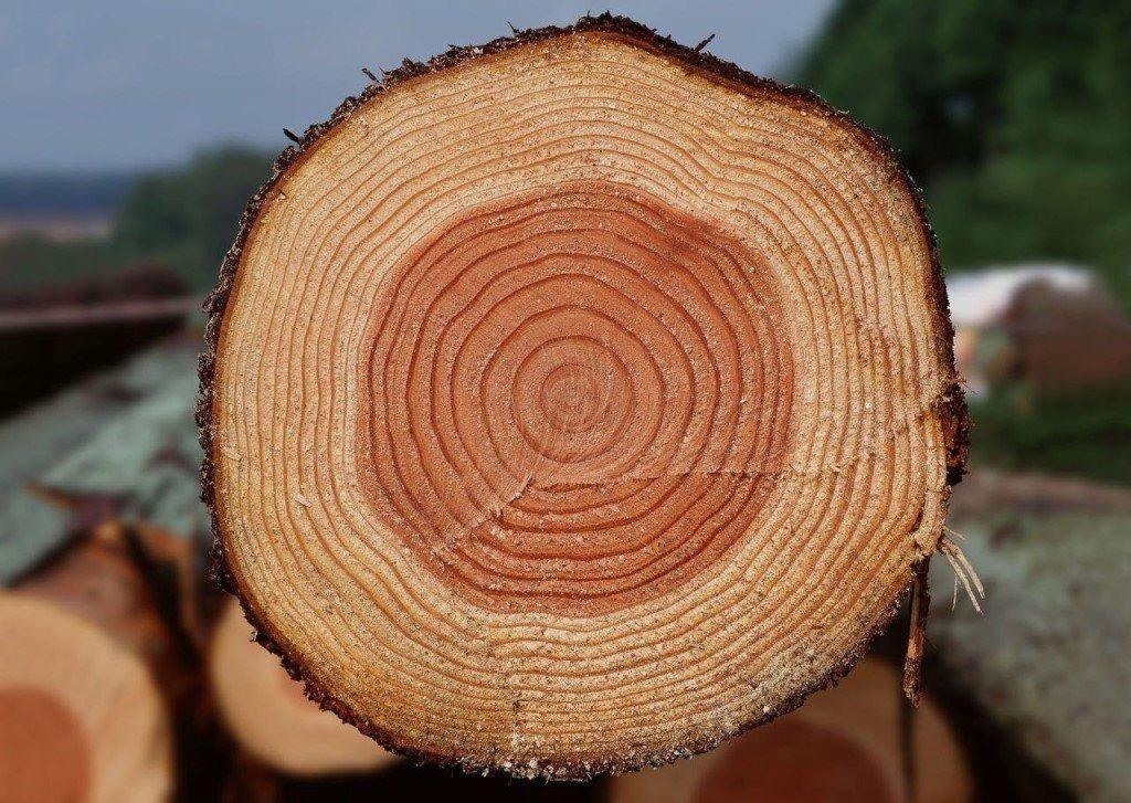 Годичные кольца древесины