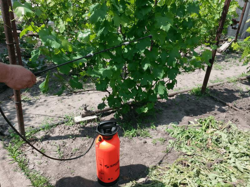 Малиновое дерево: описание и выращивание штамбовой разновидности малины