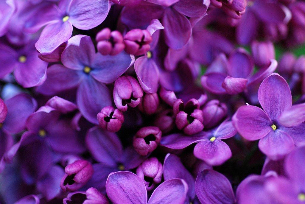 Какого цвета бывает сирень? (и отличите ли вы пурпурный от мажентового)   в цветнике (огород.ru)