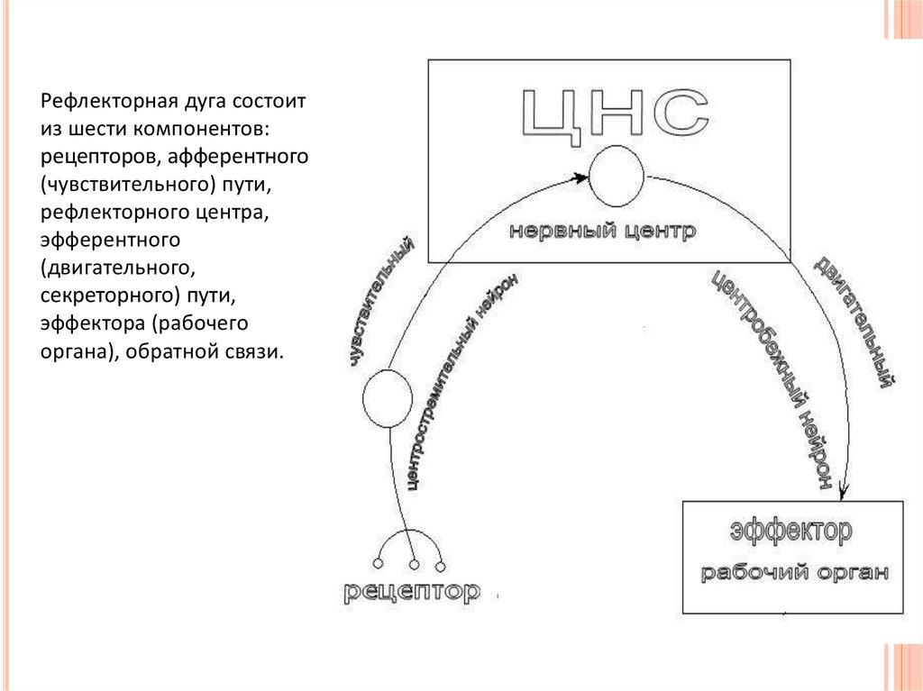 Понятие о рефлекторной дуге