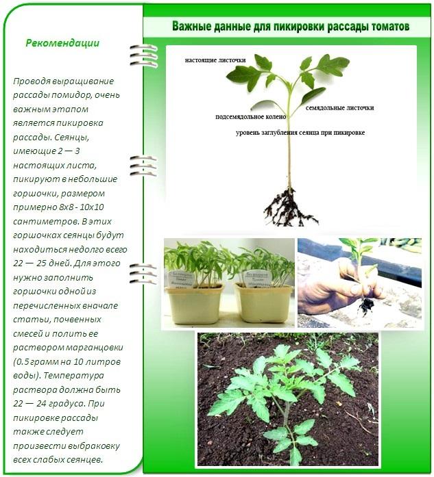 Пикировка рассады: нюансы, советы, особенности процесса. фото — ботаничка.ru