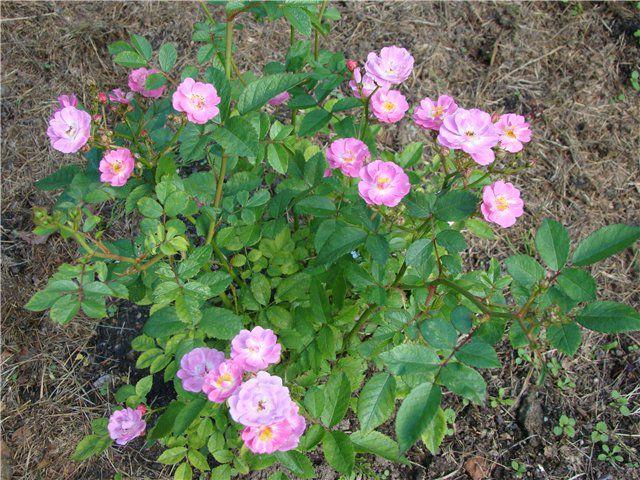 Роза полиантовая: уход и выращивание в открытом грунте.