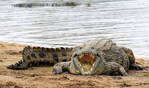Крокодил — описание рептилии, места обитания, жизненный цикл, питание, виды + 116 фото