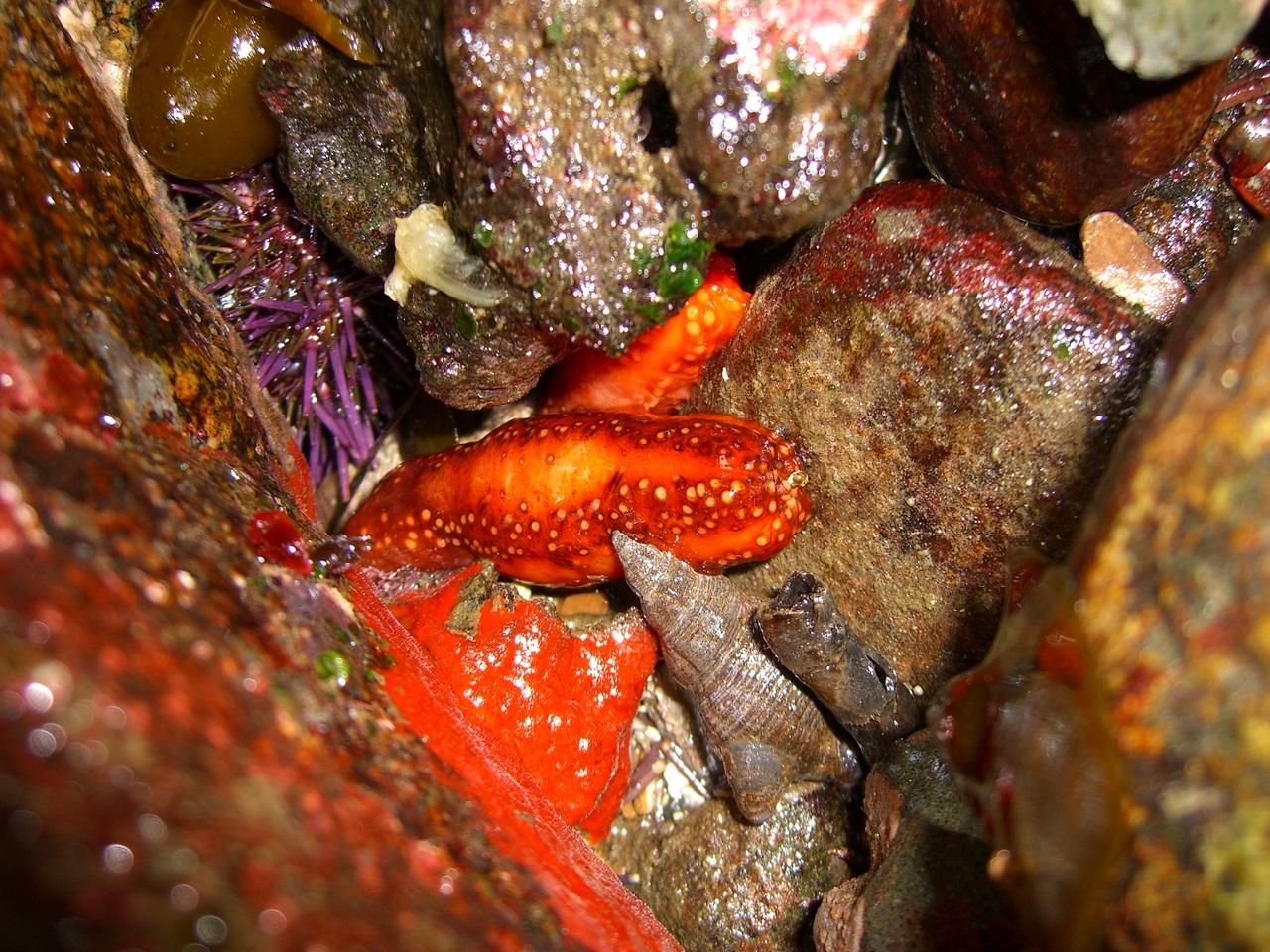 Морской огурец (кукумария). полезные свойства и противопоказания. фото