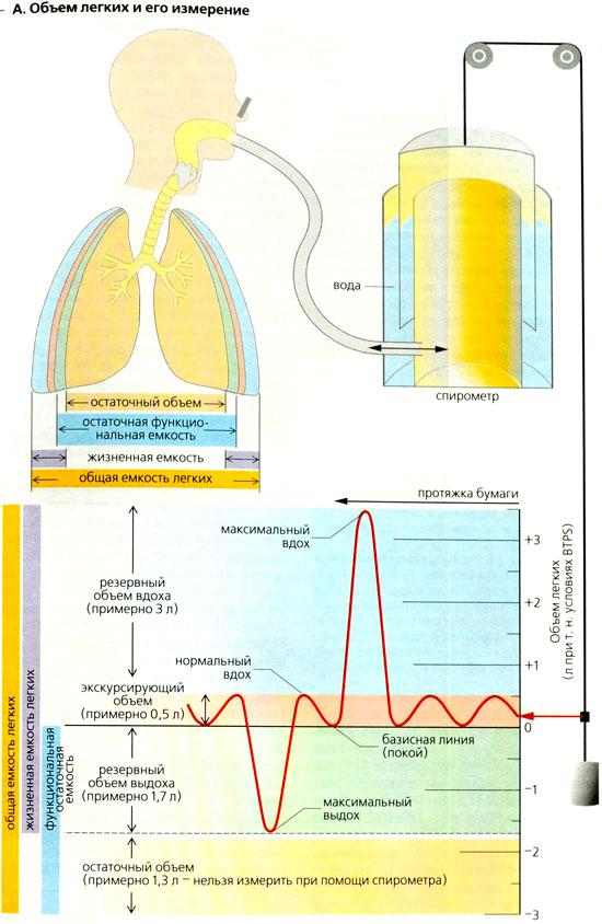Формула расчета жизненной емкости легких. что такое жел (жизненная ёмкость легких) - заболевания-мед