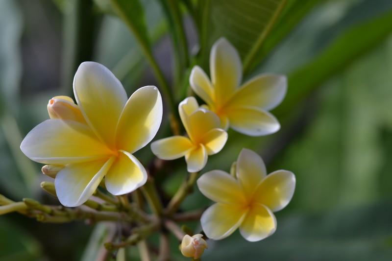 Плюмерия (франжипани) в домашних условиях. выращивание | растим растения!
