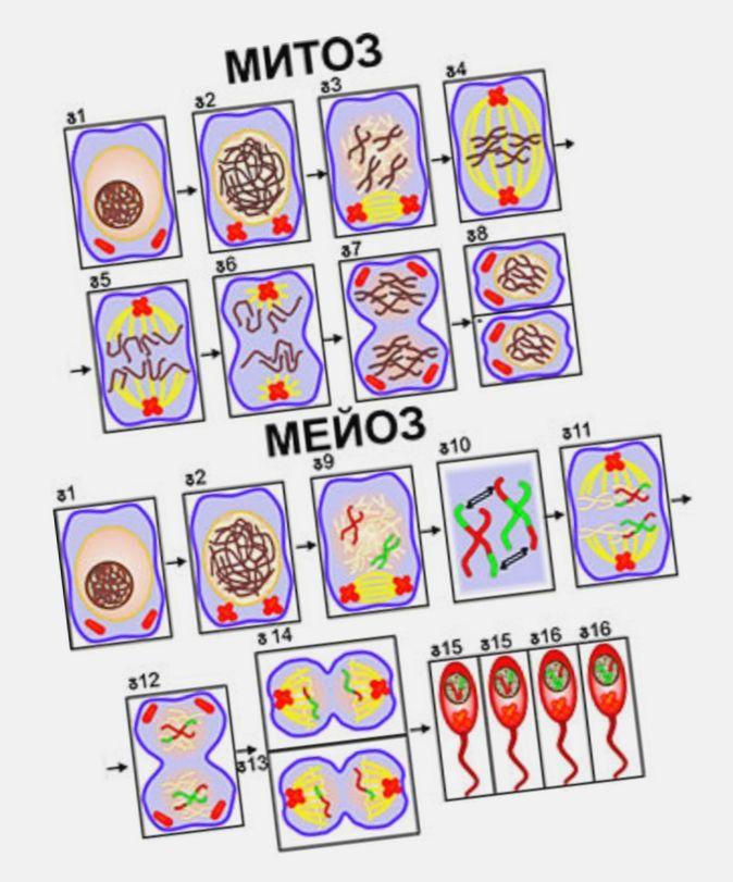 Митоз - mitosis