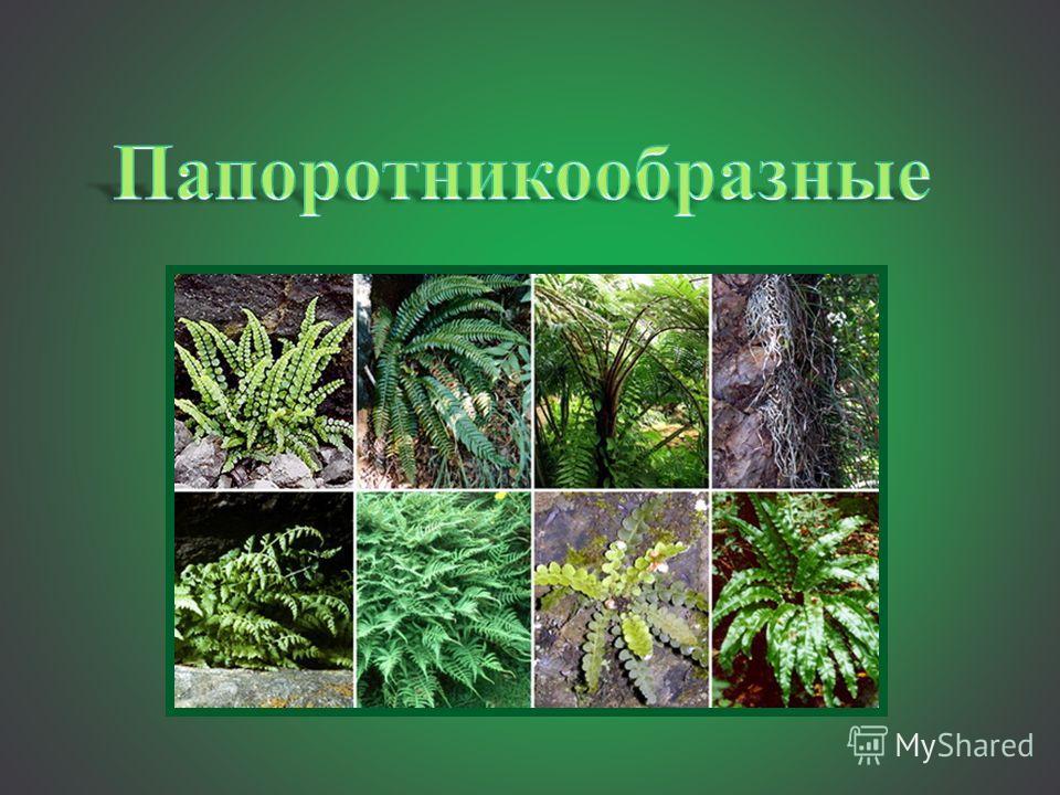 Высшие растения. высшие споровые растения. общая характеристика. отдел риниофиты. отдел псилофиты. отдел мохообразные. отдел плаунообразные. отдел хвощеобразные и отдел папоротникообразные | биология