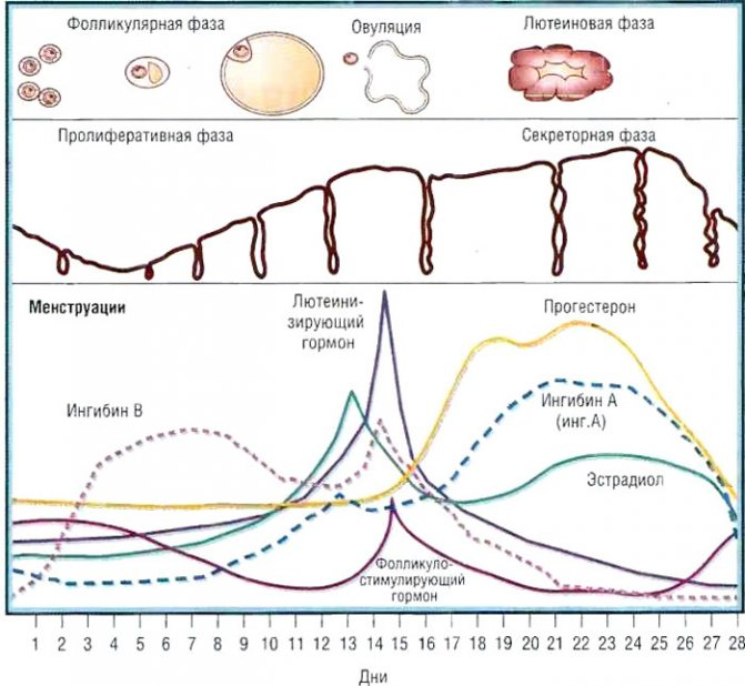 Лютеиновая фаза менструального цикла у женщин: что это такое, сколько длится, норма и недостаточность