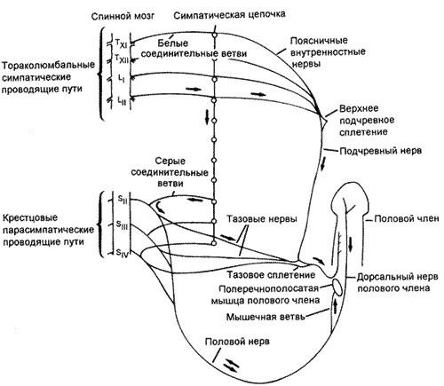 Причины возникновения, симптомы и лечение ретроградной эякуляции.