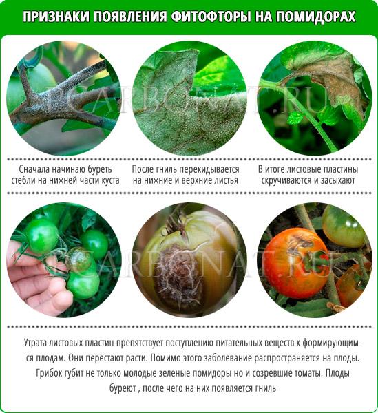 Чем обработать помидоры от фитофторы – народные средства и химические препараты, профилактика