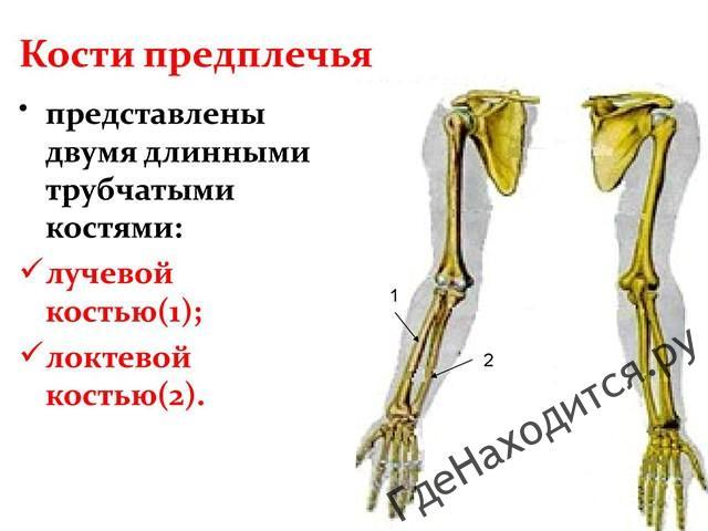 Где находится предплечье: его анатомия и травмы - trainingbody