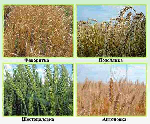 Виды пшеницы (13 фото): список и характеристика сортов, мягкие высокоурожайные разновидности злака в россии