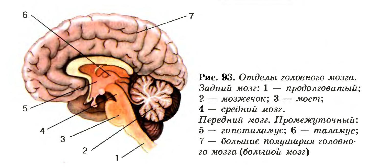 Мозжечок: анатомия, функции и нарушения     здоровый образ жизни.