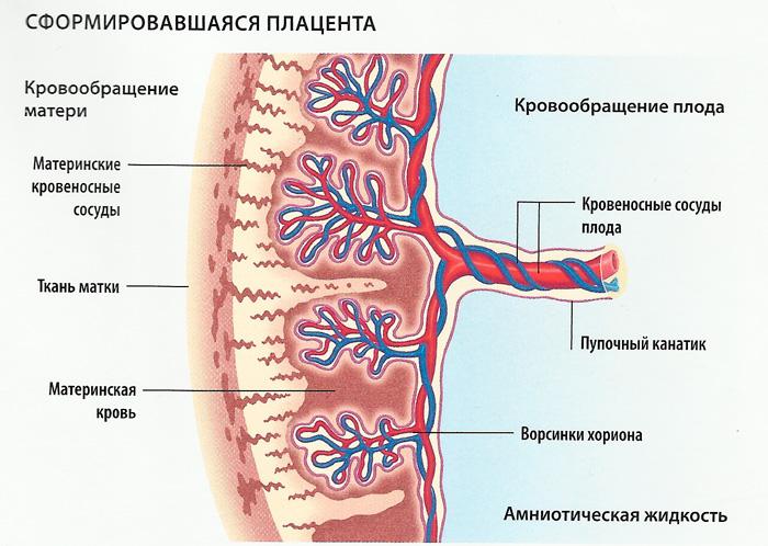 Плацента: строение, развитие, функции и диагностика    гинекология.инфо