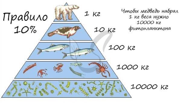 Экологическая пирамида энергии – правило и типы