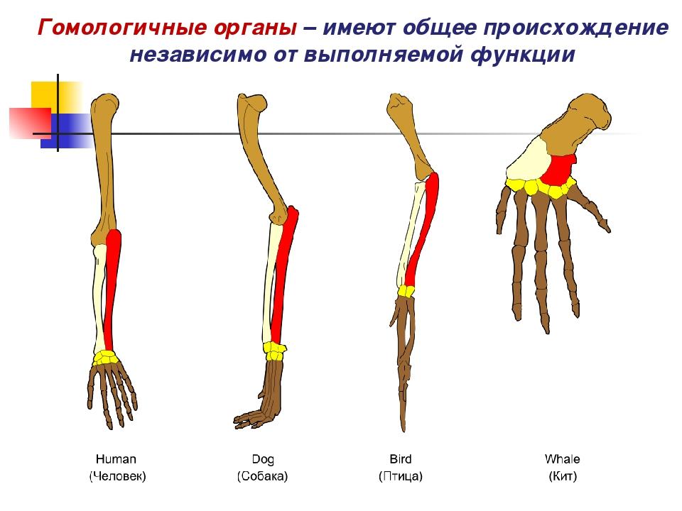 Гомологичные органы: примеры и доказательства эволюции