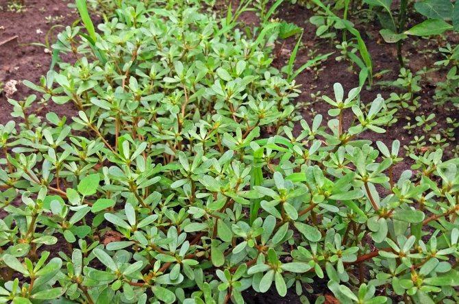 Портулак огородный фото посадка выращивание свойства