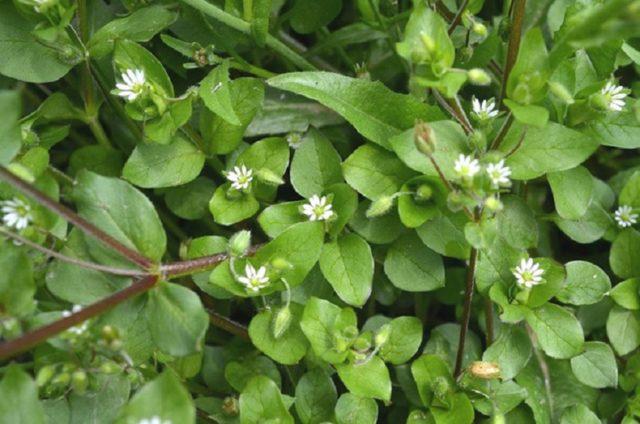 Трава мокрица: лечебные свойства и противопоказания, польза и вред