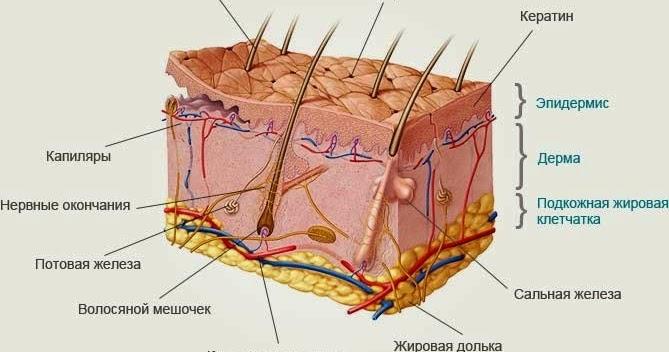 Что такое кожа и ее значение для организма человека