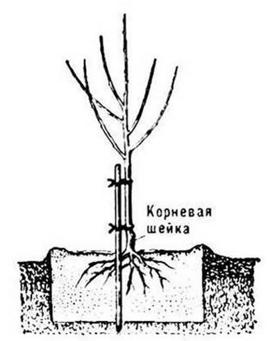 Определение корневой шейки саженца