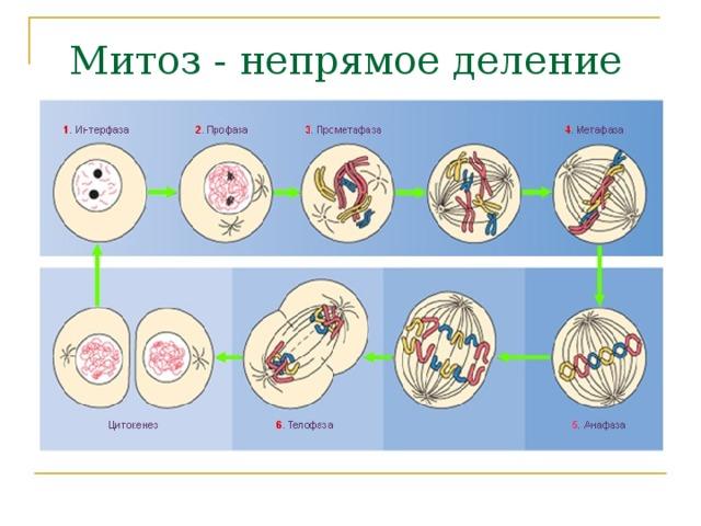 Жизненный цикл клетки: интерфаза и митоз / справочник :: бингоскул